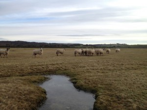 Sheep grazing a salt marsh