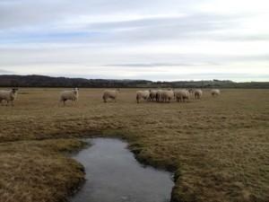 Sheep grazing a salt marsh