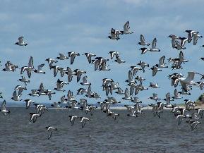 A flock of Oystercatchers