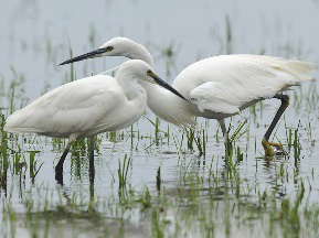 Little Egret pair fishing