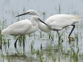 Little Egret pair fishing